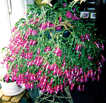 are christmas cactus poisonous to cats